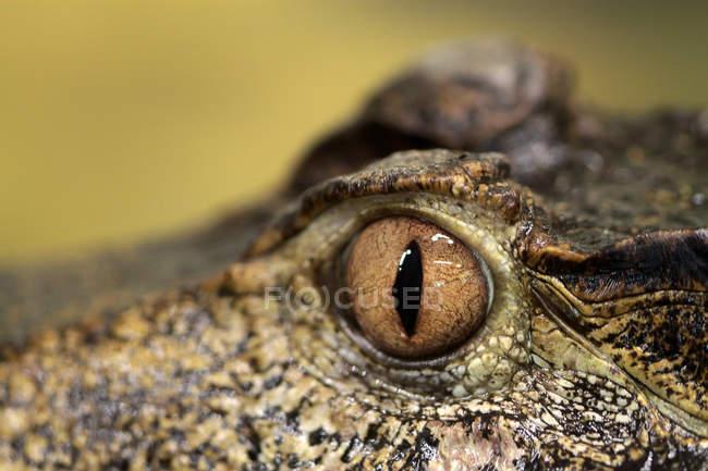 Крупным планом глаза крокодила — стоковое фото