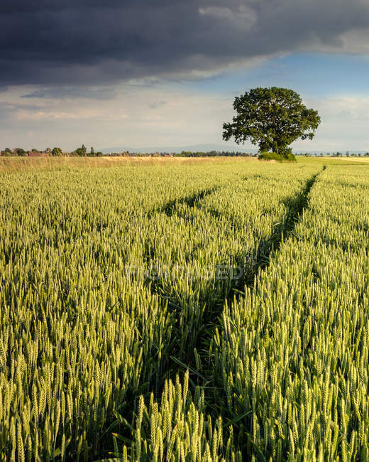 Agricultural field landscape with tree — Stock Photo