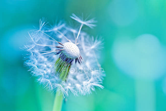 Пушистый одуванчик цветок — стоковое фото