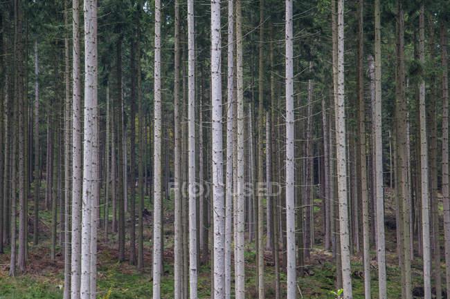 Birkenhain bei Sommer — Stockfoto