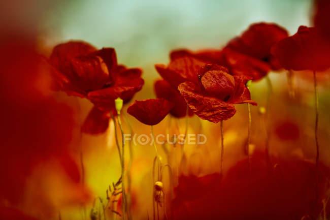 Flores de amapola en campo - foto de stock