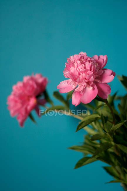 Fiore di peonia foto stock immagini royalty free focused for Fiori che sbocciano