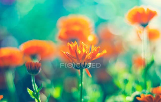 Цветы календулы на лугу — стоковое фото