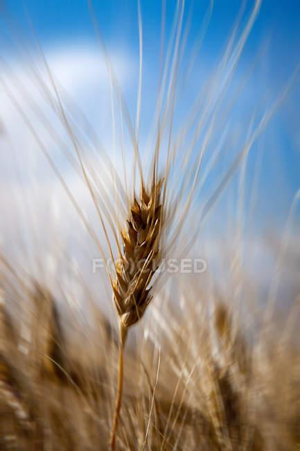 Reife Gerstenfeld im Herbst — Stockfoto