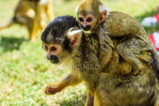 Bebê escriturada do selvagem Capuchinhos macaco — Fotografia de Stock