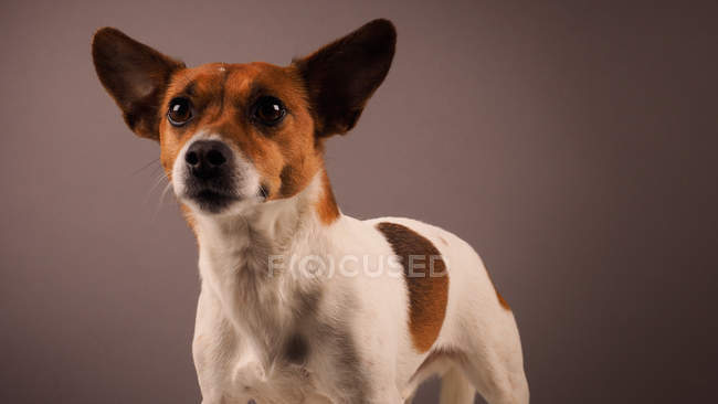 Jack Russell Terrier sur fond gris — Photo de stock