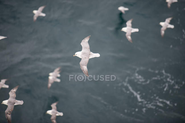 Flock of seagull birds flying over the sea — Stock Photo