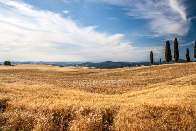 Reife Weizenfeld im Herbst — Stockfoto