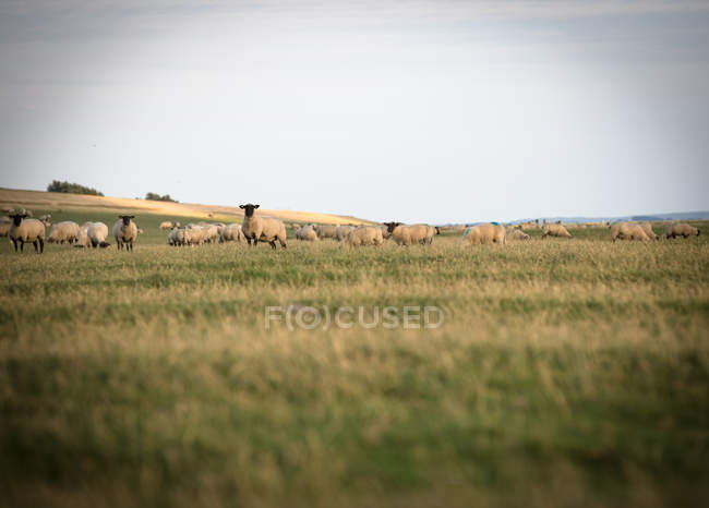 Schafe auf der Weide grasen — Stockfoto