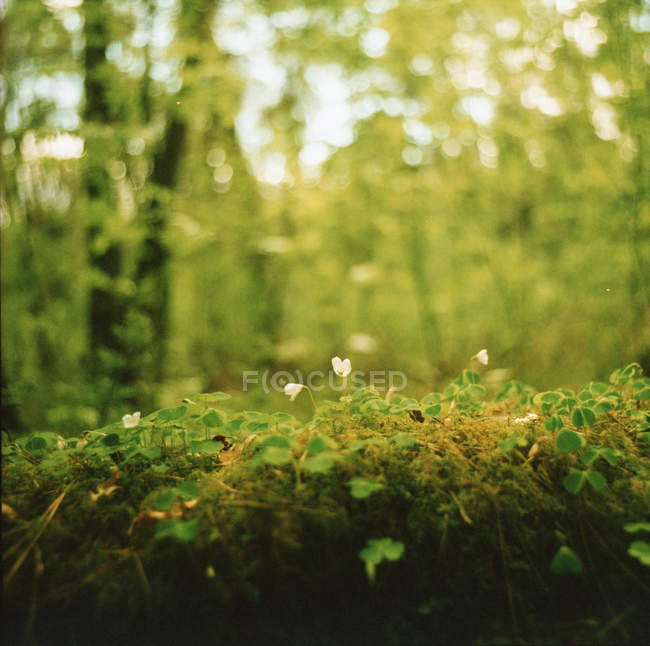 Moss sprouts and blooming forest flowers — Stock Photo