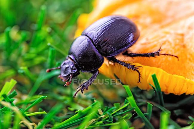 Arrastre escarabajo en hábitat natural - foto de stock