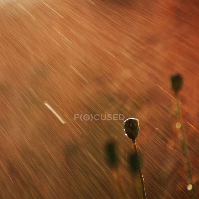 Water jets and poppy capsules in sunset light — Stock Photo