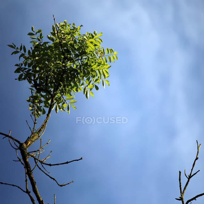 Filiale di albero con fogliame — Foto stock
