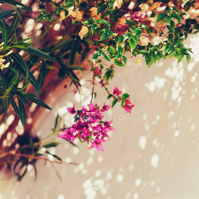 Blooming pink summer flowers — Stock Photo