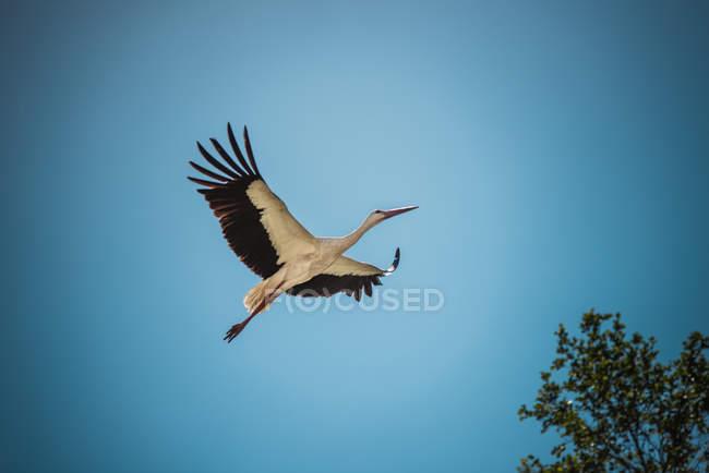 Inquadratura dal basso della cicogna di volo — Foto stock