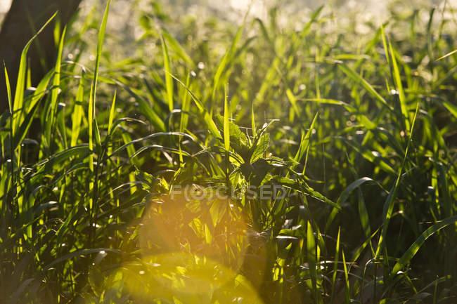 Grüne Kräuter Pflanzen wachsen im freien — Stockfoto
