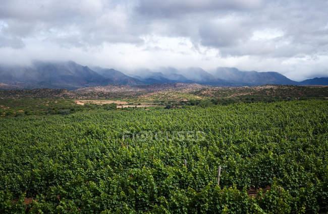 Rebe-Plantagen in der Nähe von Bergen — Stockfoto