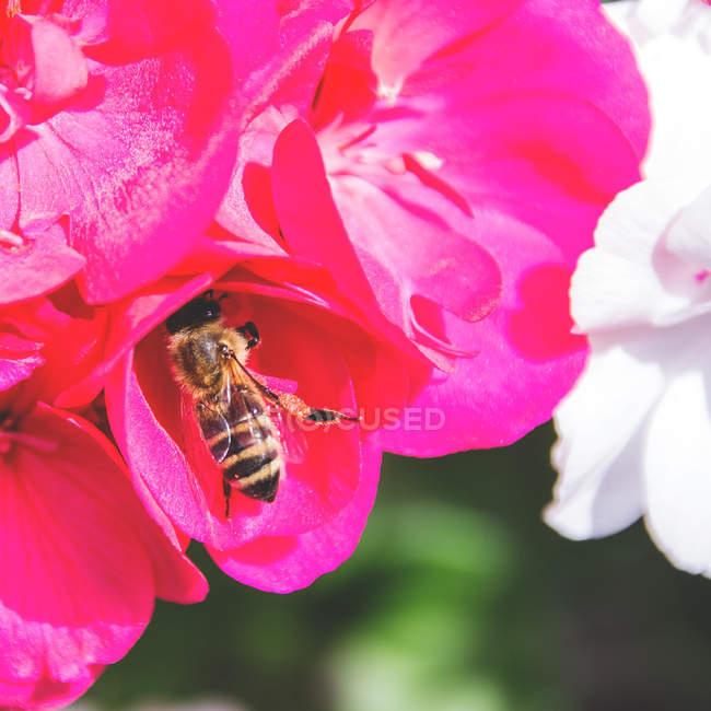 Recolección de néctar y polen de abejas - foto de stock