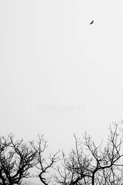 Copas das árvores e Corvo voando acima no céu mal-humorado — Fotografia de Stock