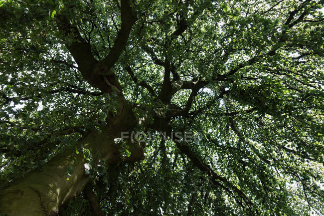 Bottom view of tree top with green foliage — Stock Photo