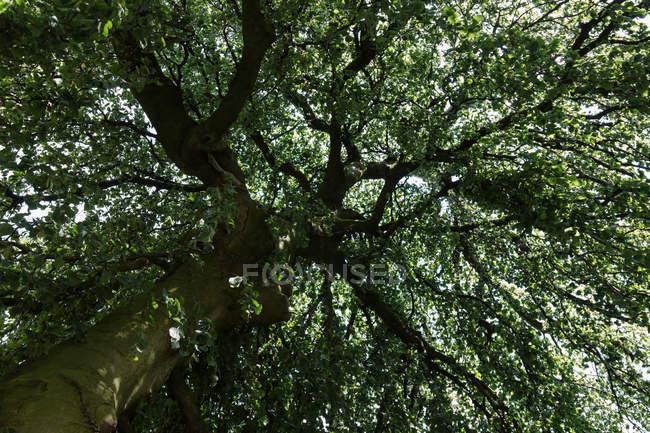 Unteransicht des Baumkrone mit dunkelgrünem Laub — Stockfoto