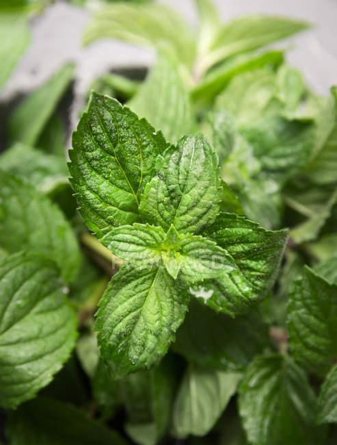 Зелений свіже Листя м'яти — стокове фото