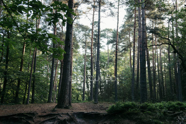 Green summer forest with long trees in shadow — Stock Photo
