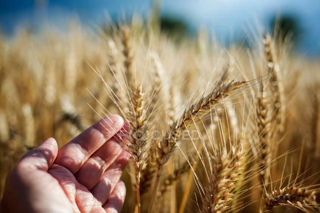 Menschliche Hand berühren Ernte Ohren im Feld — Stockfoto