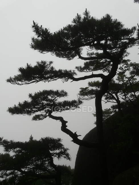 Pine trees in foggy weather — Stock Photo