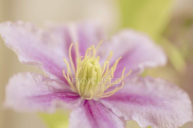 Vista del primo piano del calice fiore clematis — Foto stock