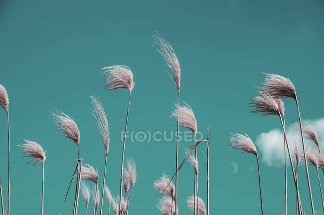 Épillets de graminées sauvages contre ciel turquoise par temps venteux — Photo de stock