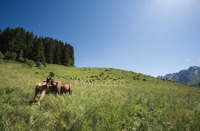 Caballos de pastoreo en pastos verdes - foto de stock