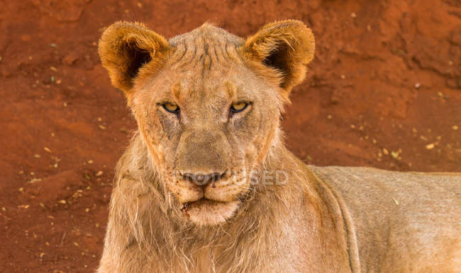 Portrait of lioness looking in camera — Stock Photo