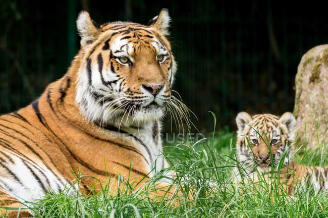 Vista del primo piano della tigre con cucciolo su erba verde — Foto stock