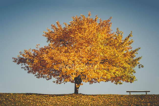 Скамейки и Осеннее дерево — стоковое фото