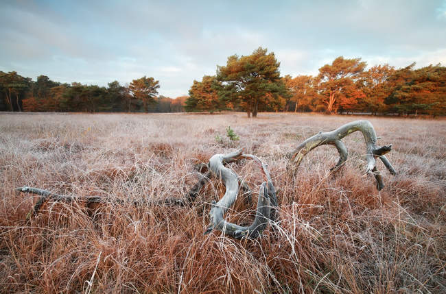 Old tree on frosted meadow — Stock Photo