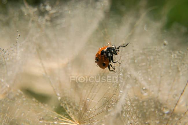 Ladybug crawling among herbal fluffs — Stock Photo