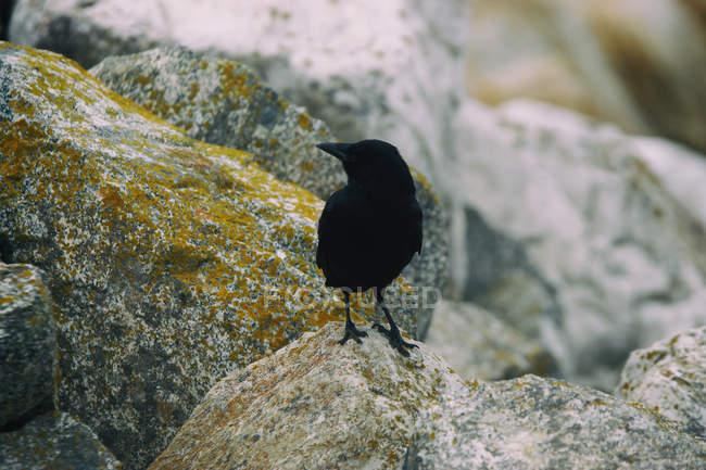 Black crow sitting on stones — Stock Photo