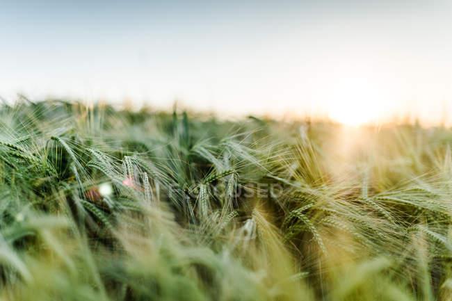 Green summer grass of wheat — Stock Photo