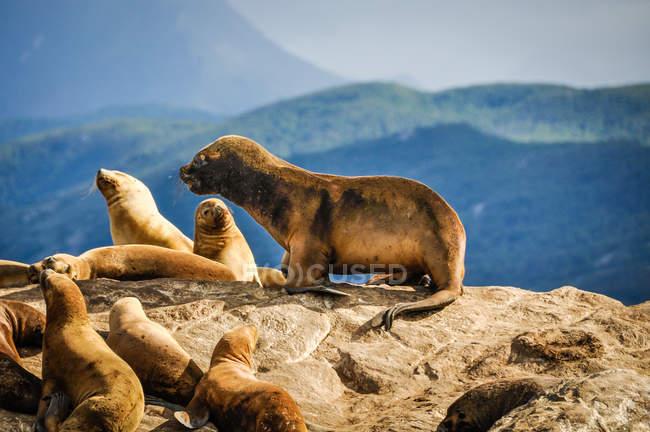 Herd seals on the beach — Stock Photo