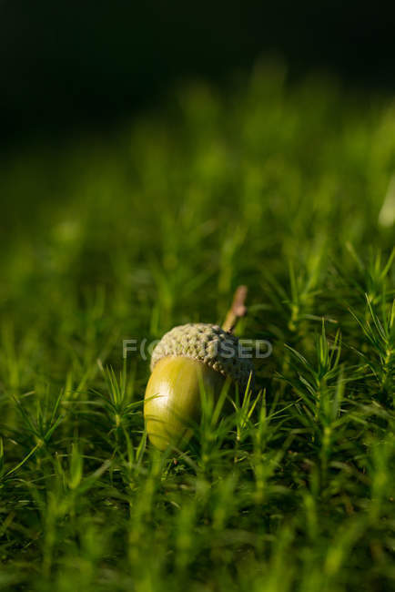 Green acorn on forest moss — Stock Photo