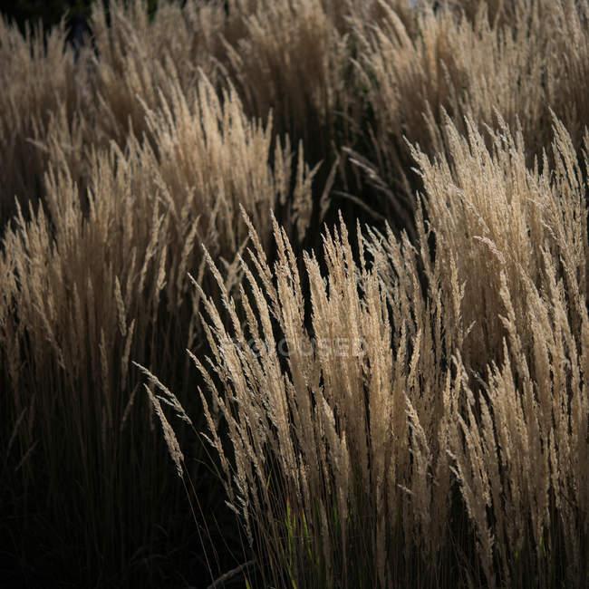 Grass Stiel getrocknet — Stockfoto