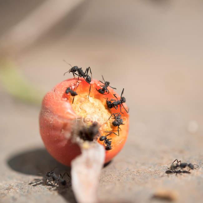 Insectos insectos hormigas comiendo fruta naranja - foto de stock