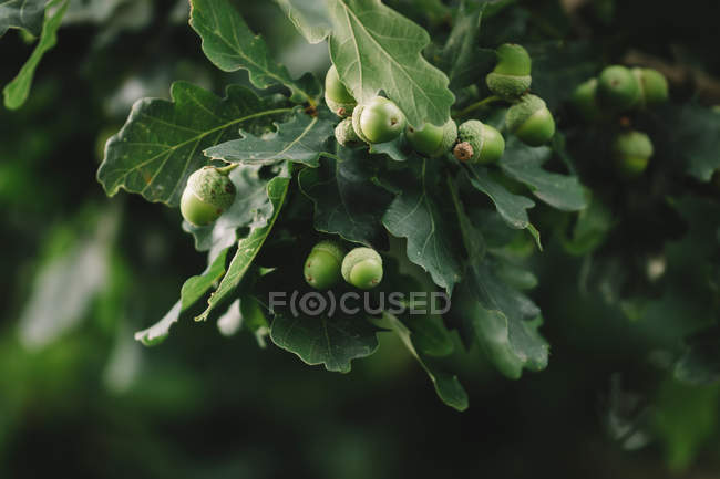 Oak tree branches with acrons — Stock Photo