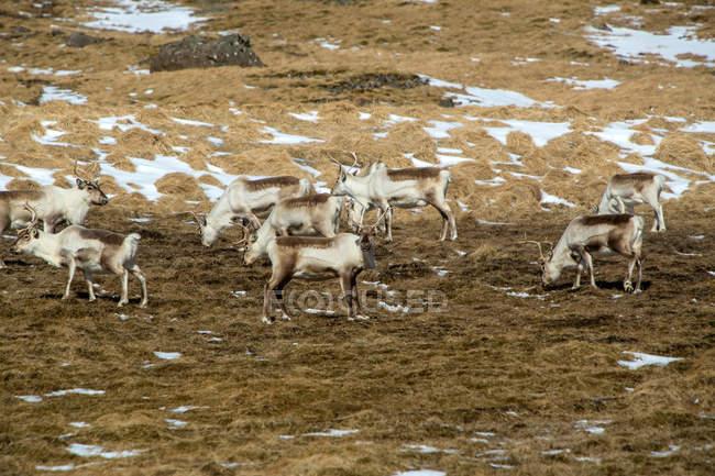 Дикі олень випасу на прибережній лузі — стокове фото