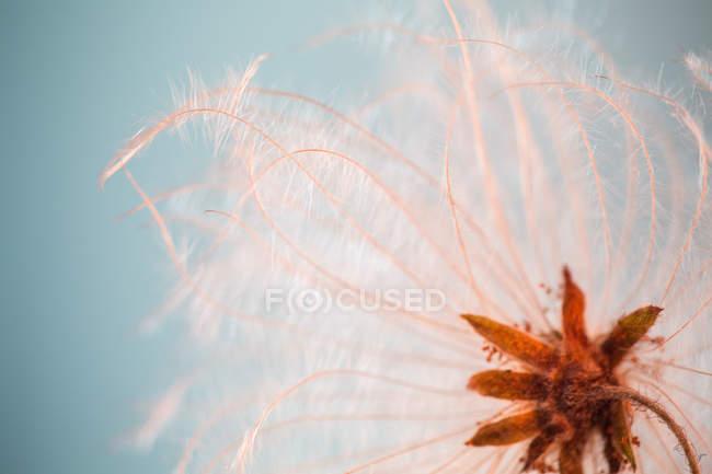 Крупним планом Ейрі wildflower bud небо проти комп ' — стокове фото