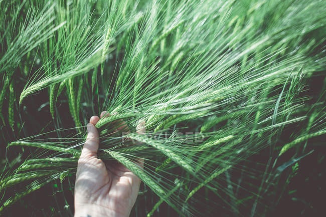 Cropped image of female hand touching green wheat grass — Stock Photo