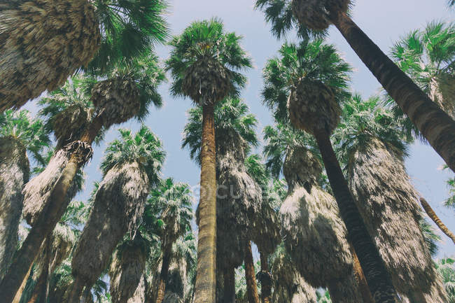 Growing tropical green palm trees — Stock Photo