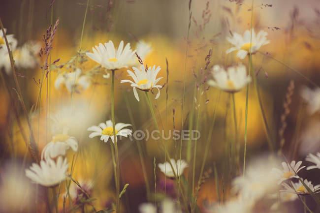 Closeup vista selvagens florescendo flores de camomila — Fotografia de Stock