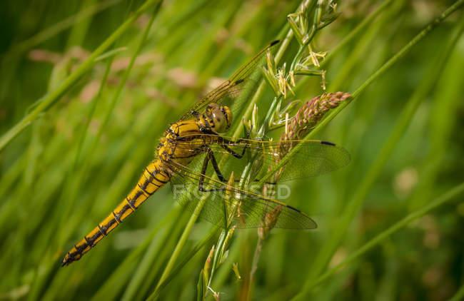 Insecte libellule sur l'herbe du champ vert, gros plan — Photo de stock